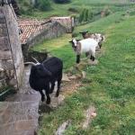 Goats in Girona Spain
