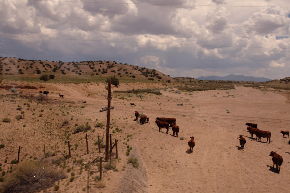 Cows in the desert.