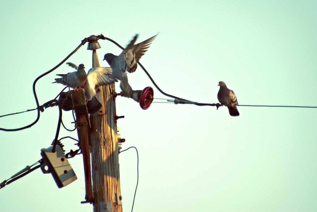 Pigeons in St. Louis